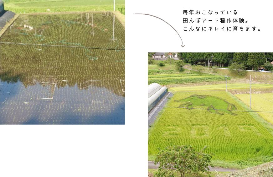 毎年おこなっている田んぼアート稲作体験。こんなにキレイに育ちます。